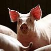 Ilmuwan Berhasil Transplantasi Paru-paru Kepada Babi
